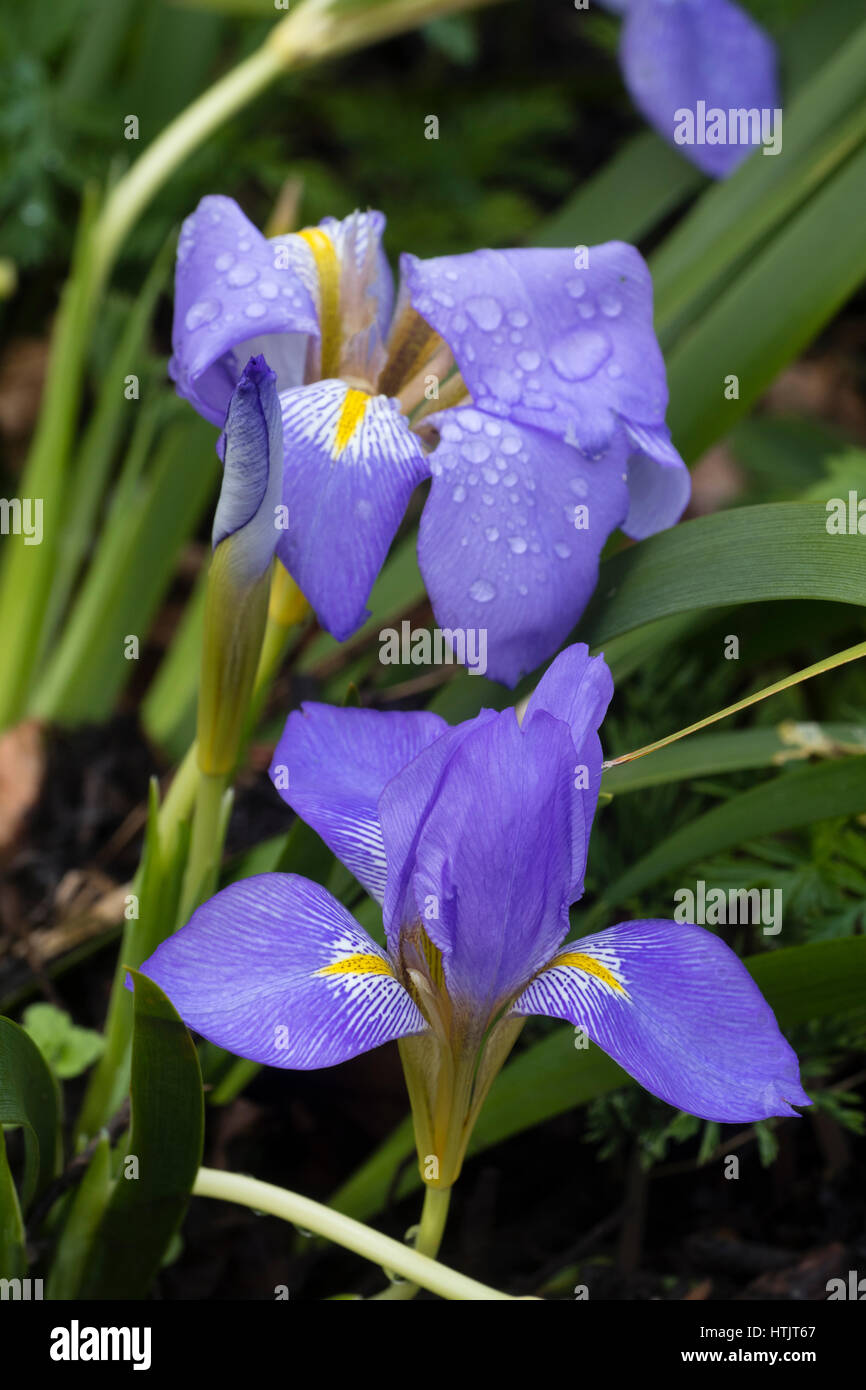 Blue winter flowers of the hardy perennial lazistan iris iris blue winter flowers of the hardy perennial lazistan iris iris lazica mightylinksfo
