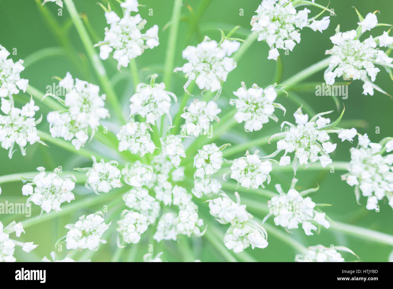 Inflorescence of white flowers plants from the family Apiaceae or Umbelliferae Stock Photo
