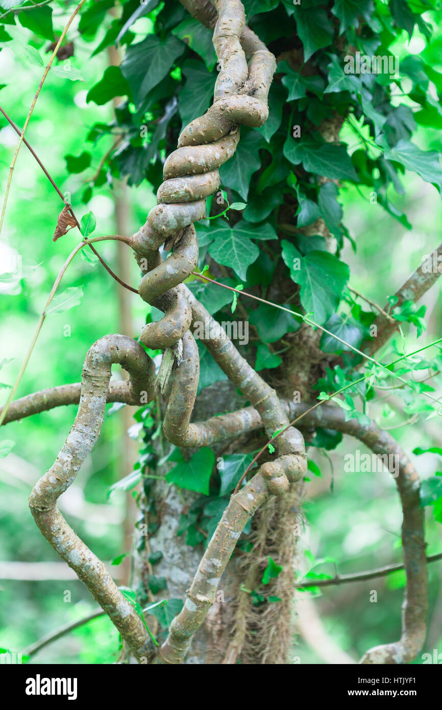 Hedera colchica called Persian or Colchis ivy - Stock Image