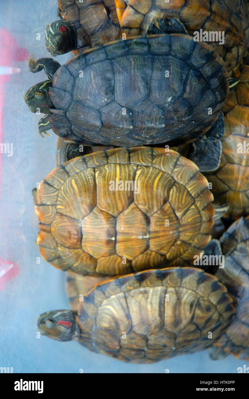 Turtles For Sale High Resolution Stock Photography And Images Alamy