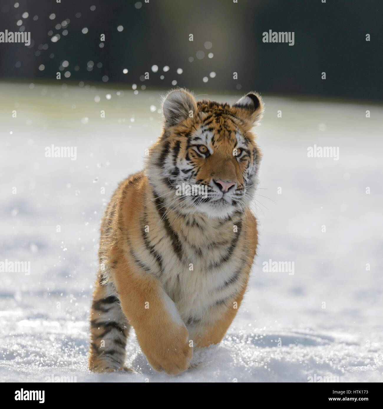 Siberian tiger (Panthera tigris altaica) juvenile running in snow, captive, Moravia, Czech Republic - Stock Image