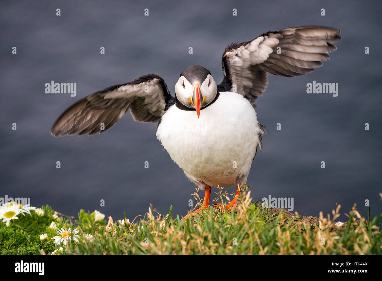A plump and puffy puffin. - Stock Image