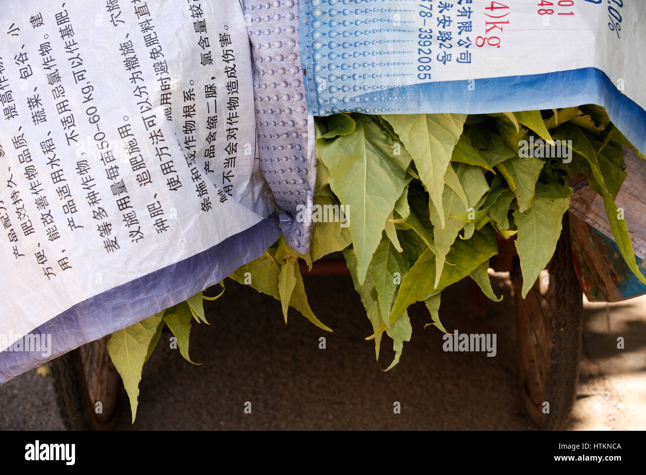 Tobaco leaves stick out from underneath covering during the tobacco harvest at Dion Tou village, near Shaxi in Yunnan - Stock Image