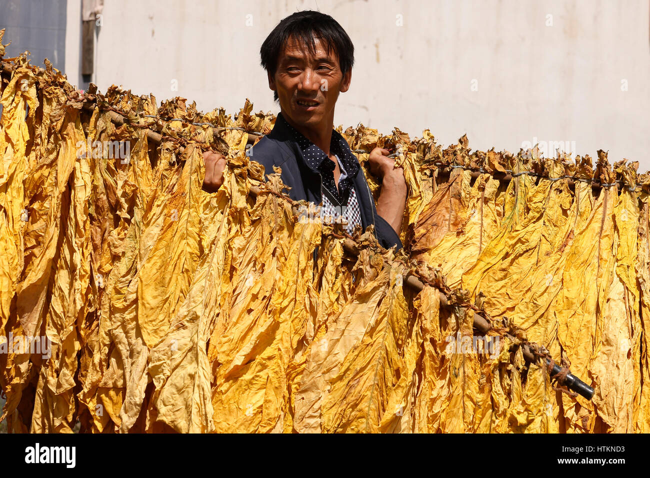 A man carries rods hug with dried tobacco leaves during the tobacco harvest at Dion Tou village, near Shaxi in Yunnan - Stock Image