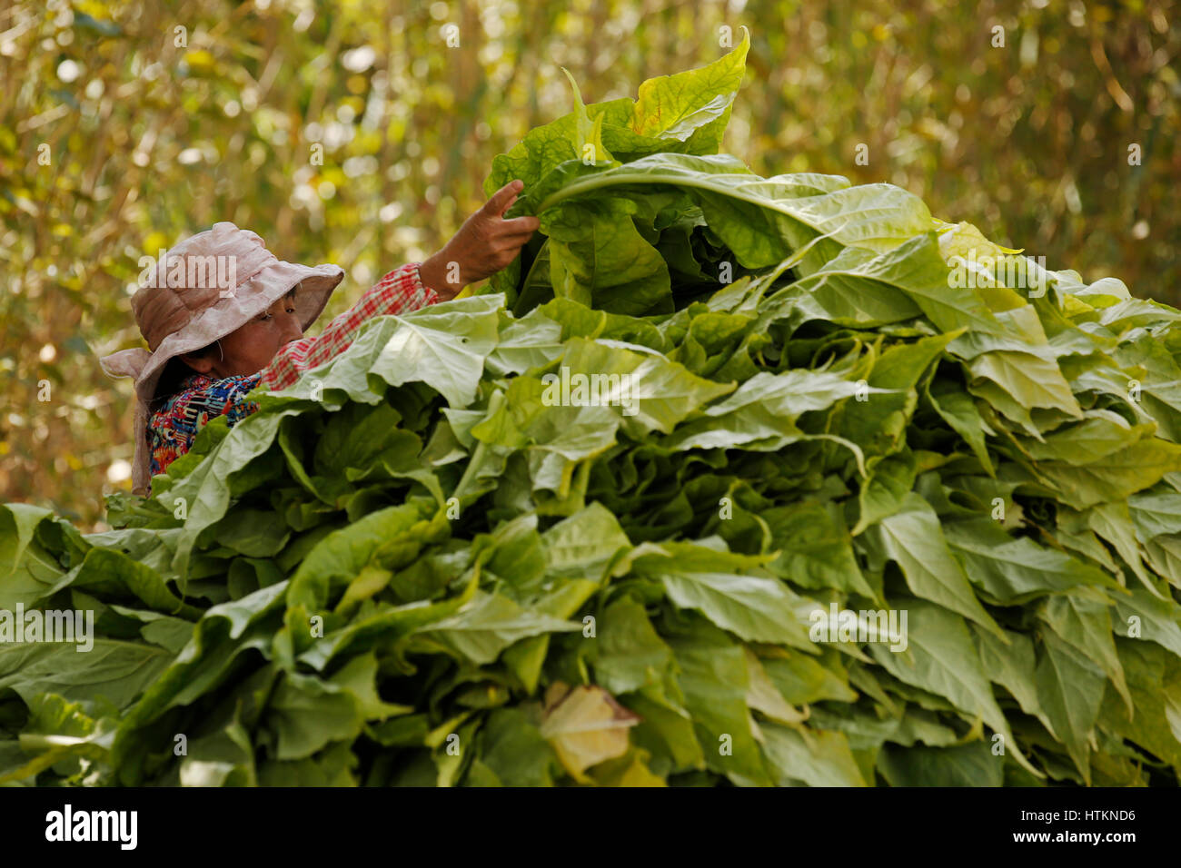 A woman takes tobacco leaves from a pile to string-up and dry during the tobacco harvest at Dion Tou village, near - Stock Image