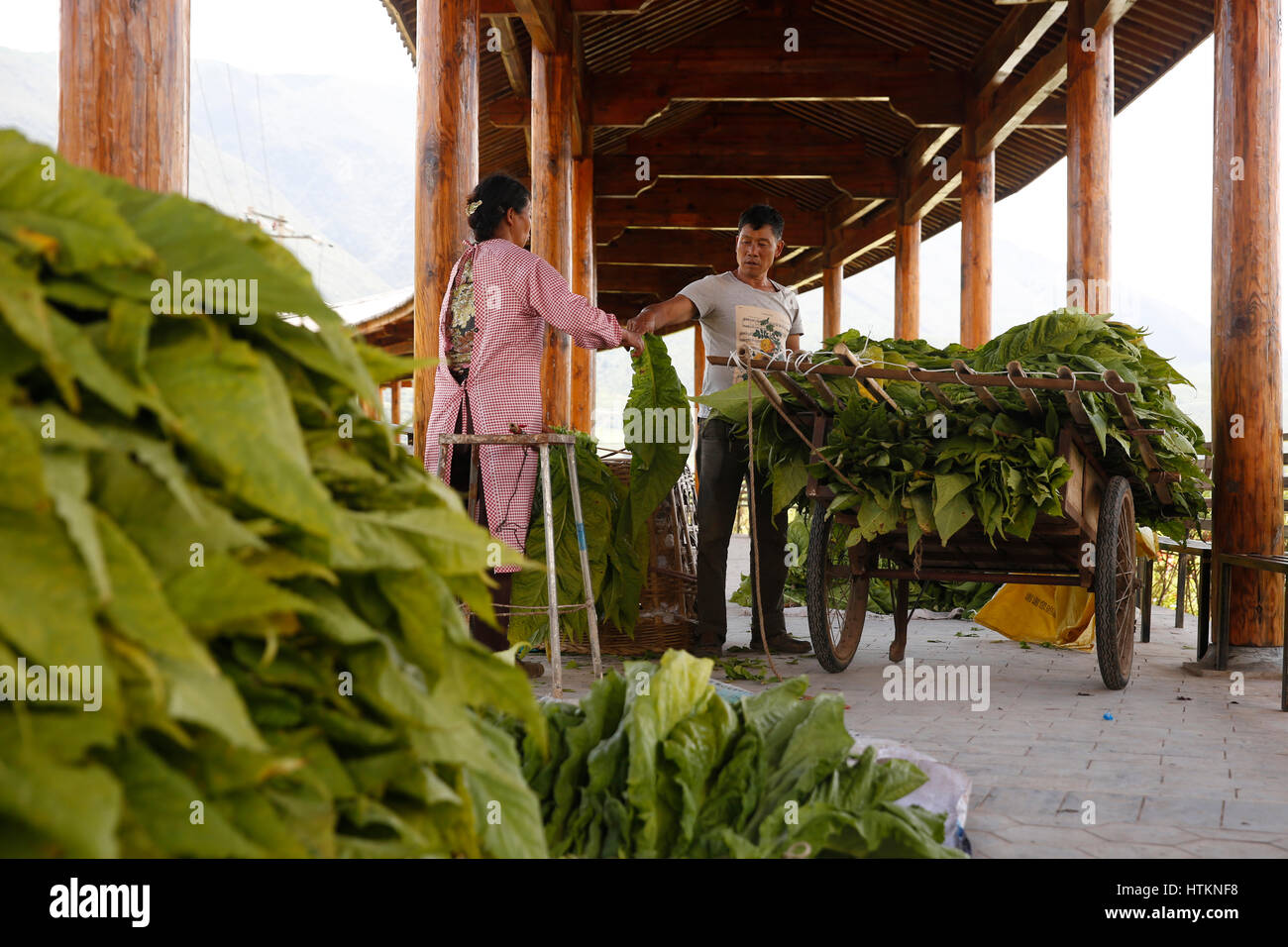 A couple perpare tobacco leaves attaching them with string to rods to commence the drying process during the tobacco - Stock Image