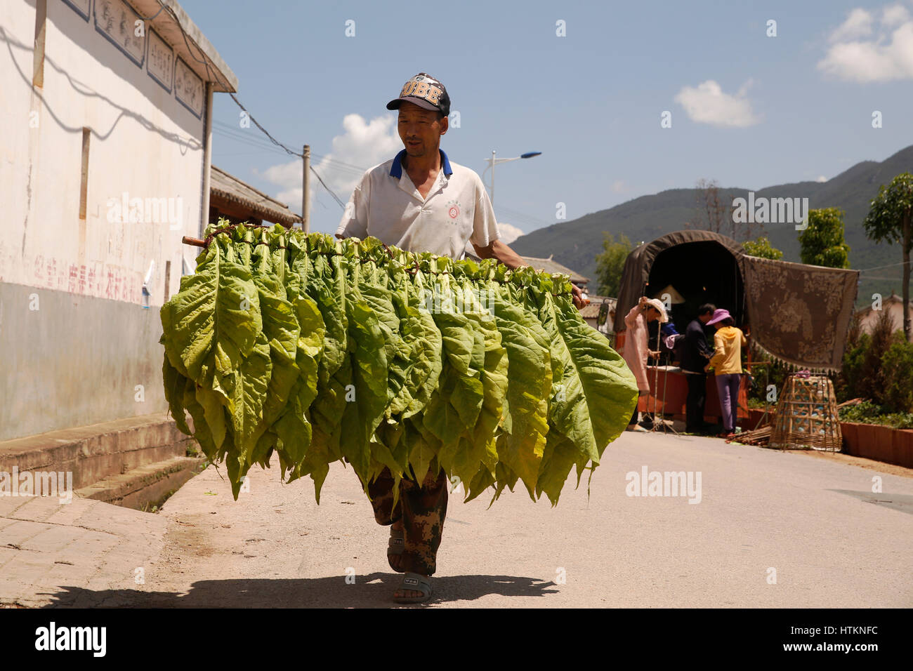 A man carries rods hug with fresh tobacco leaves to be dried during the tobacco harvest at Dion Tou village, near - Stock Image