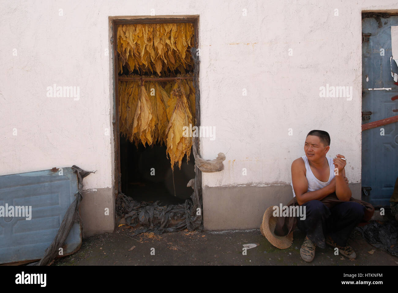 A man sits and smokes next to a drying tobacco leaves hung in a drier during the tobacco harvest at Dion Tou village, - Stock Image