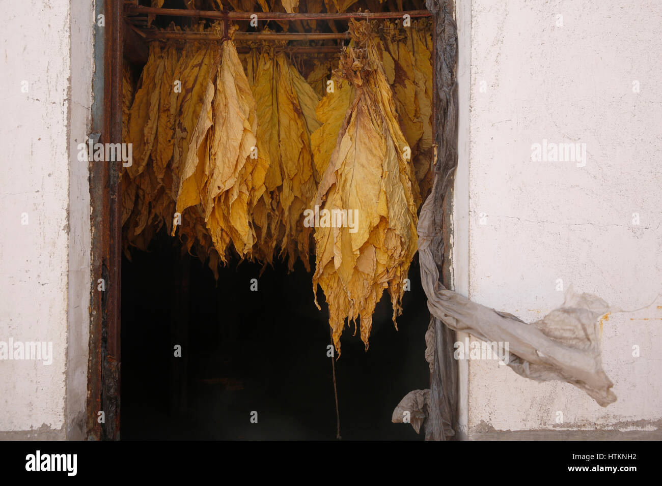 Tobacco leaves dry whilst hung in a drier during the tobacco harvest at Dion Tou village, near Shaxi in Yunnan province, - Stock Image
