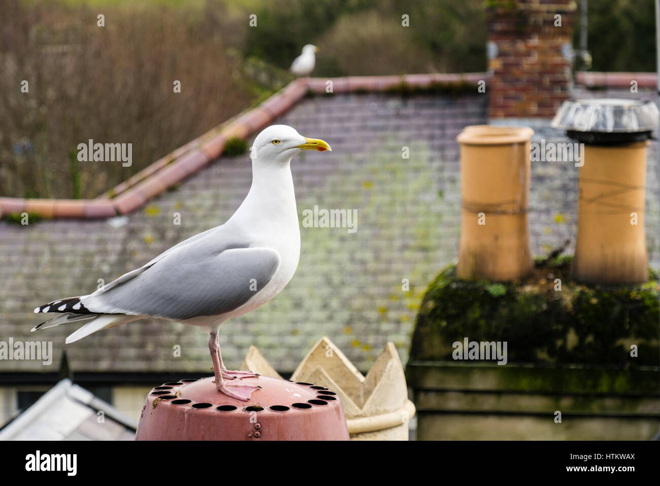 Herring Gull (Larux argentatus) or Seagull on a house rooftop chimney stack in seaside town of Conwy, Wales, UK, - Stock Image
