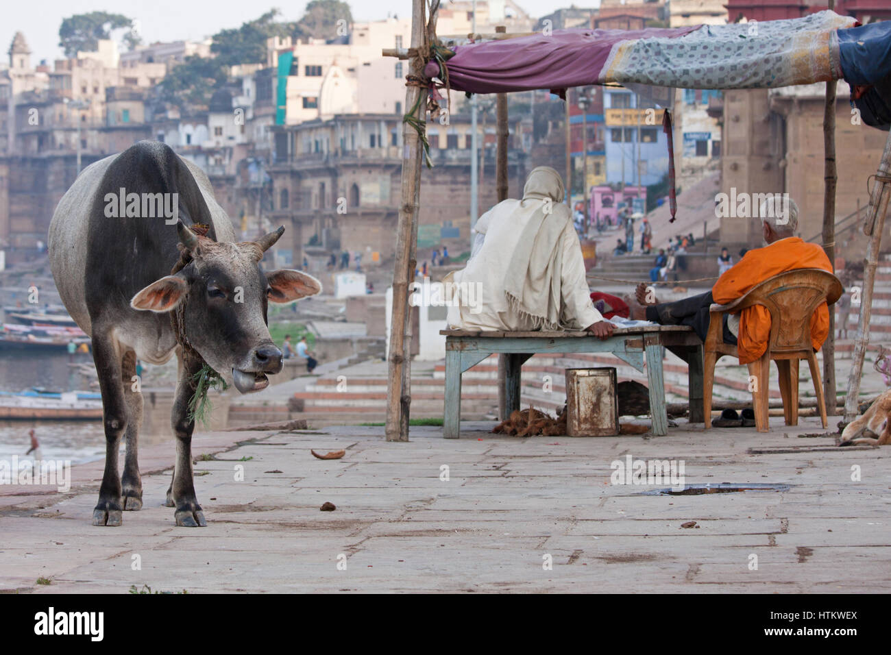 A cow wandering freely on the banks of the river Ganges at Varanasi, India. Cattle are revered in Hinduism and symbolize - Stock Image