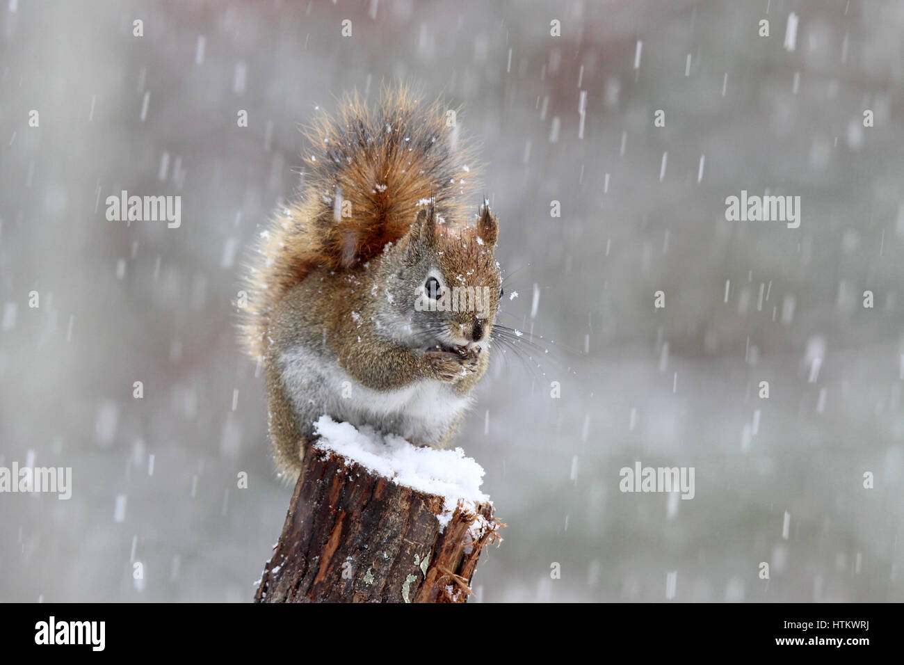A little red squirrel eating food in a snowstorm - Stock Image