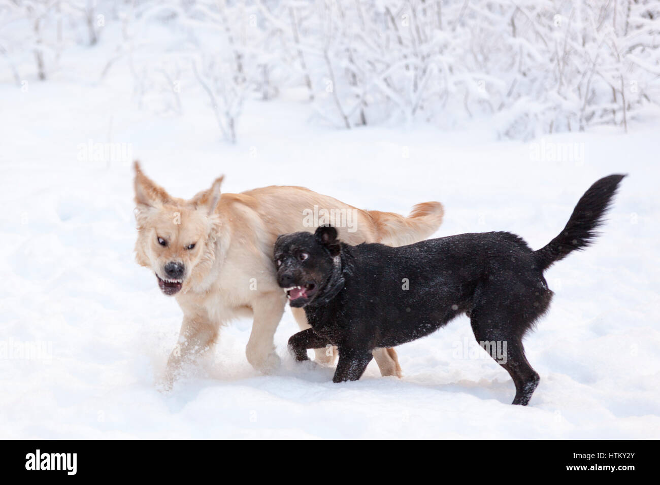 Two large dogs play fighting outdoors in snow  Model Release: No.  Property Release: Yes (black dog). - Stock Image