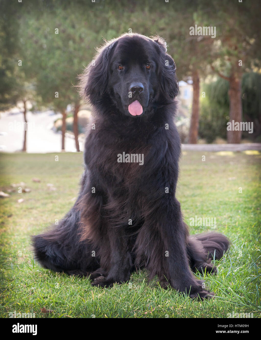 extra large black newfoundland dog standing looking forward.  She is in a park standing on some dry grass.  There - Stock Image