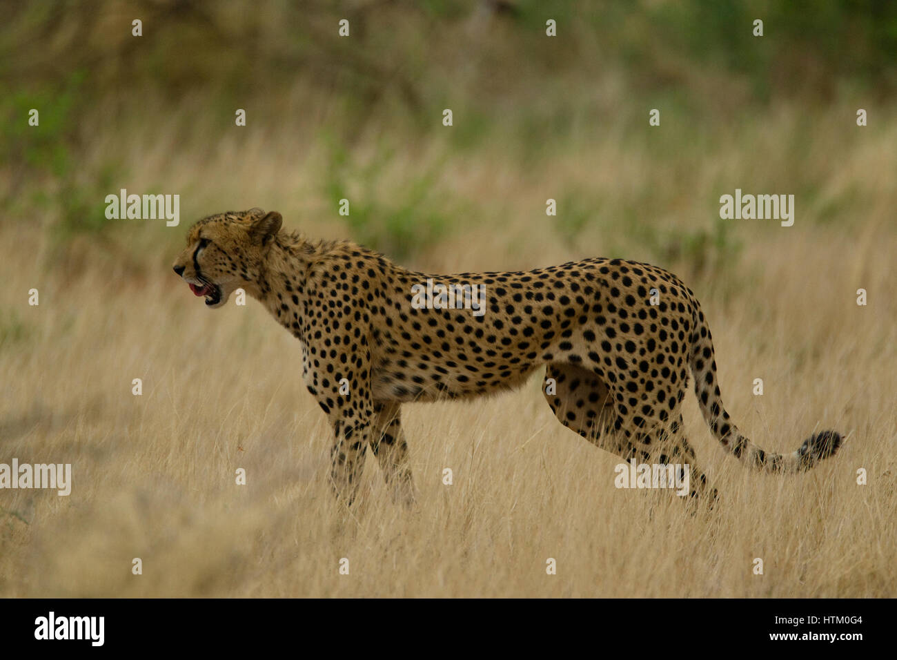 Male Cheetah (Acinonyx jubatus) on the hunt, Samburu National Reserve, Kenya, East Africa Stock Photo