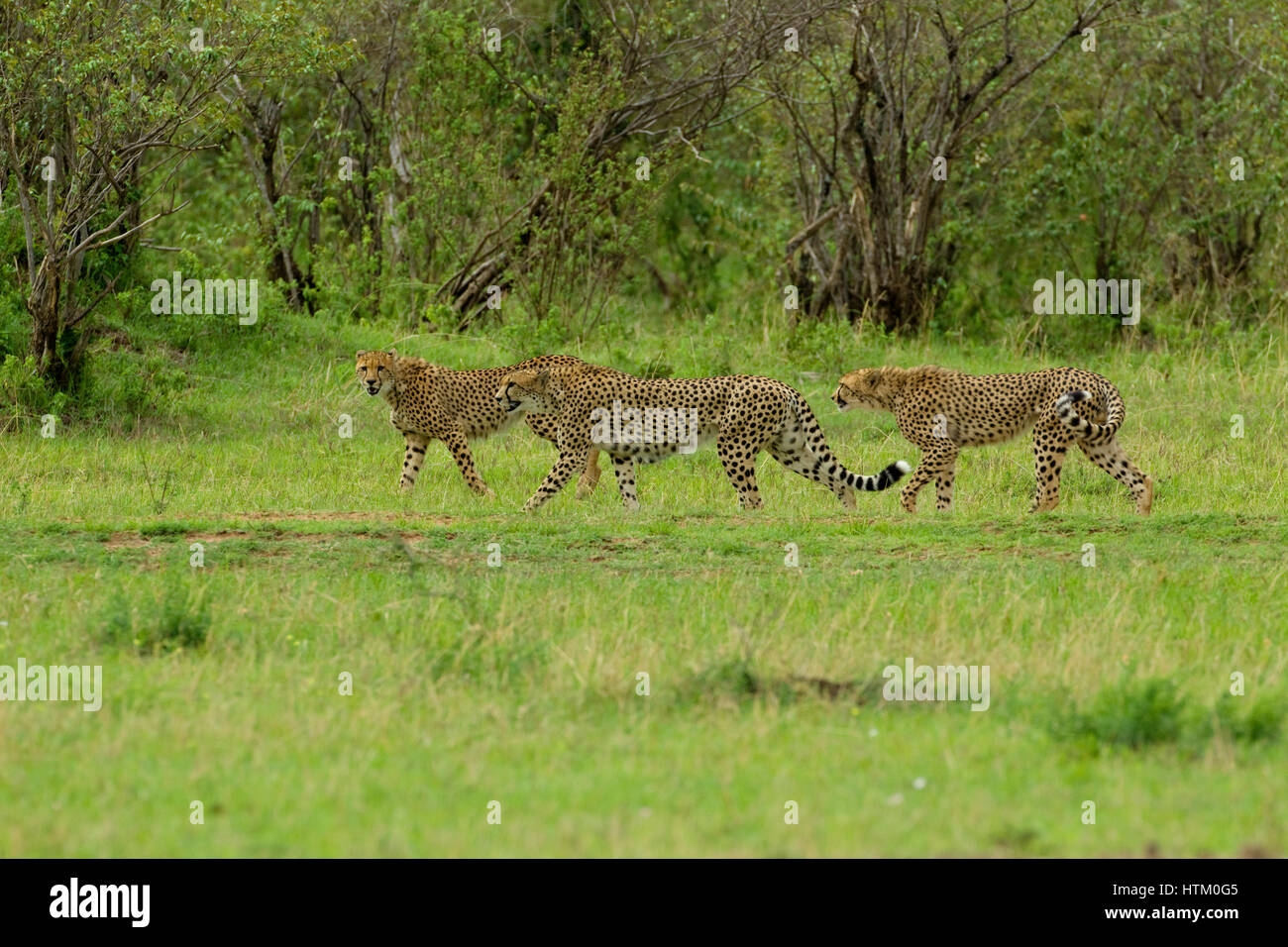 Three Cheetah (Acinonyx jubatus) males on the hunt, Masai Mara National Reserve, Kenya, East Africa Stock Photo