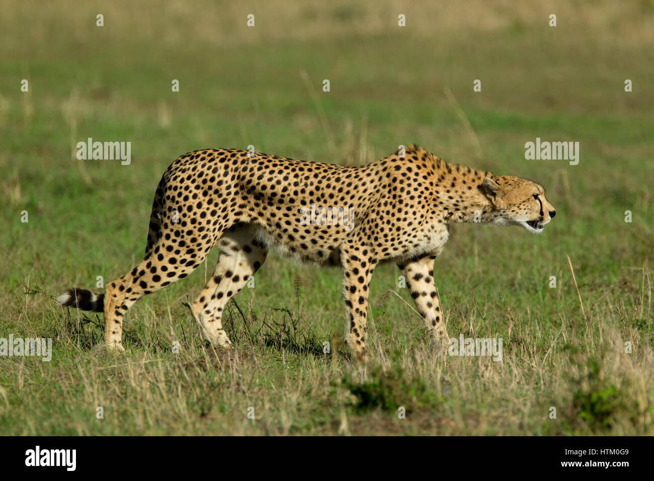Cheetah (Acinonyx jubatus) on the prowl, Masai Mara National Reserve, Kenya, East Africa - Stock Image