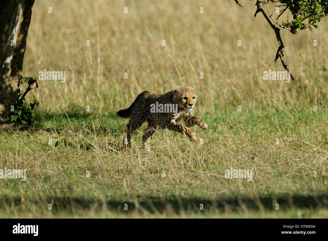 Cheetah (Acinonyx jubatus) cub running, Masai Mara National Reserve, Kenya, East Africa Stock Photo