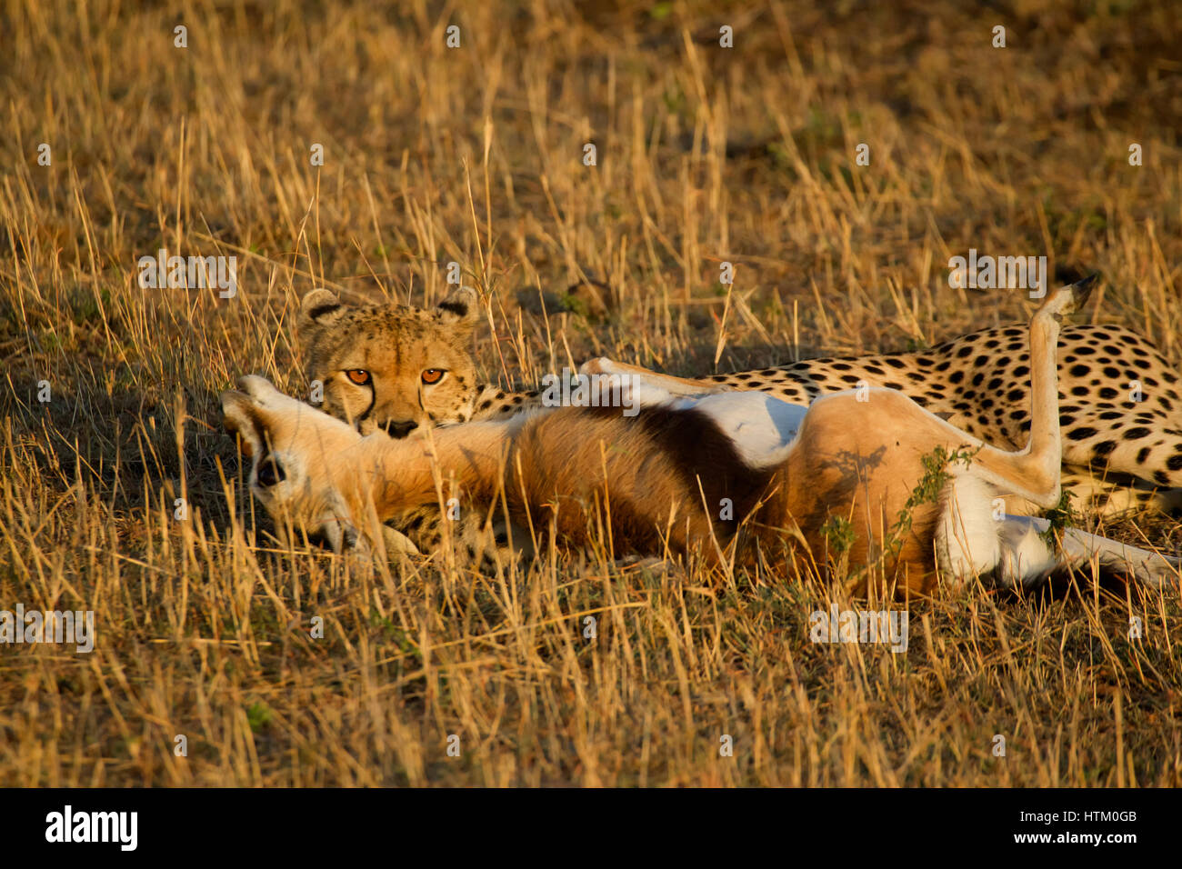 Cheetah (Acinonyx jubatus) with its kill, Masai Mara National Reserve, Kenya, East Africa - Stock Image