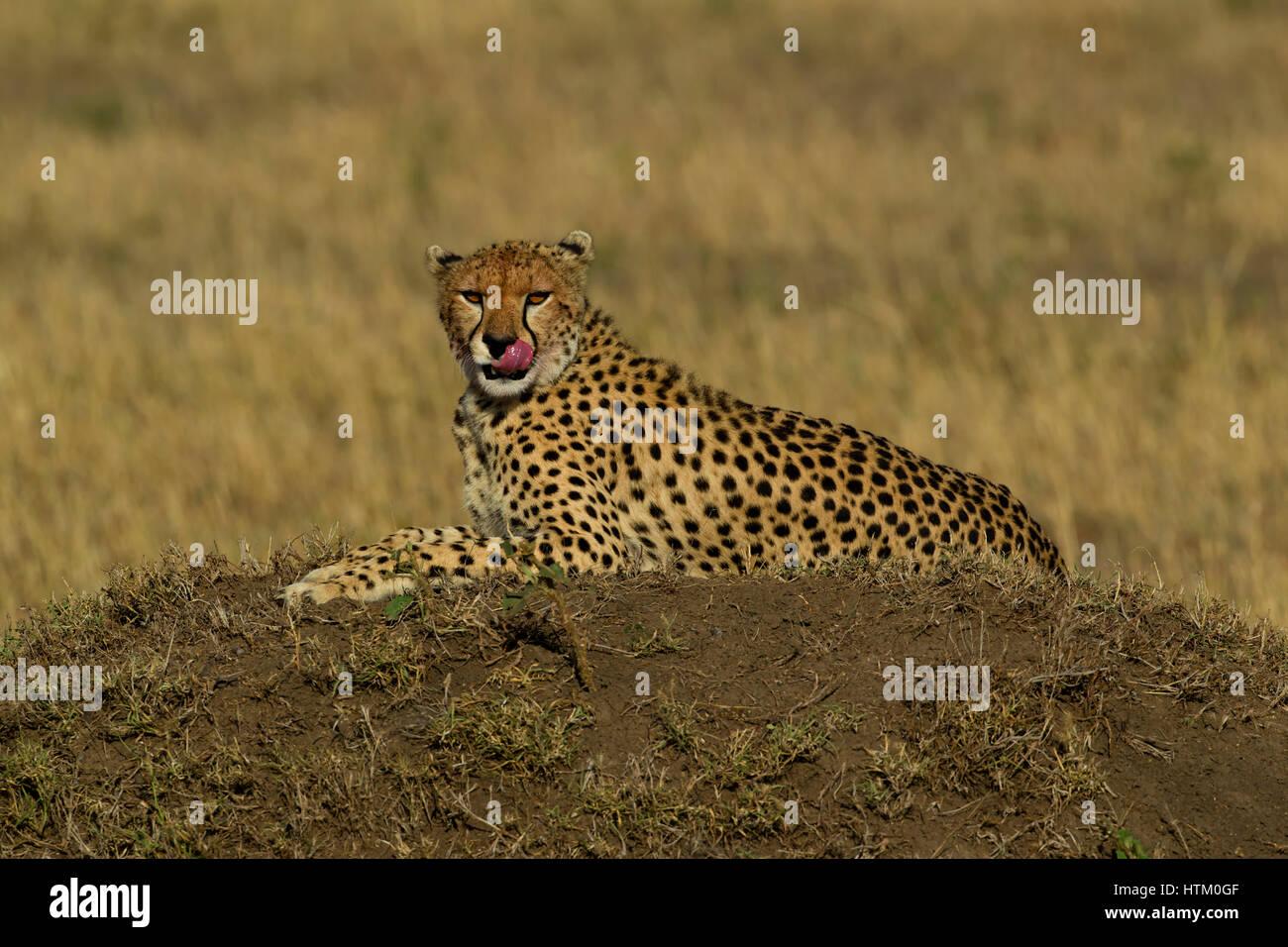 Cheetah (Acinonyx jubatus) resting on a dirt mound, Masai Mara National Reserve, Kenya, East Africa - Stock Image