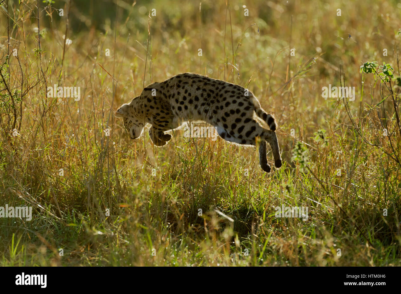 Serval (Felis serval) leaping in the air after prey, Masai Mara National Reserve, Kenya, East Africa - Stock Image