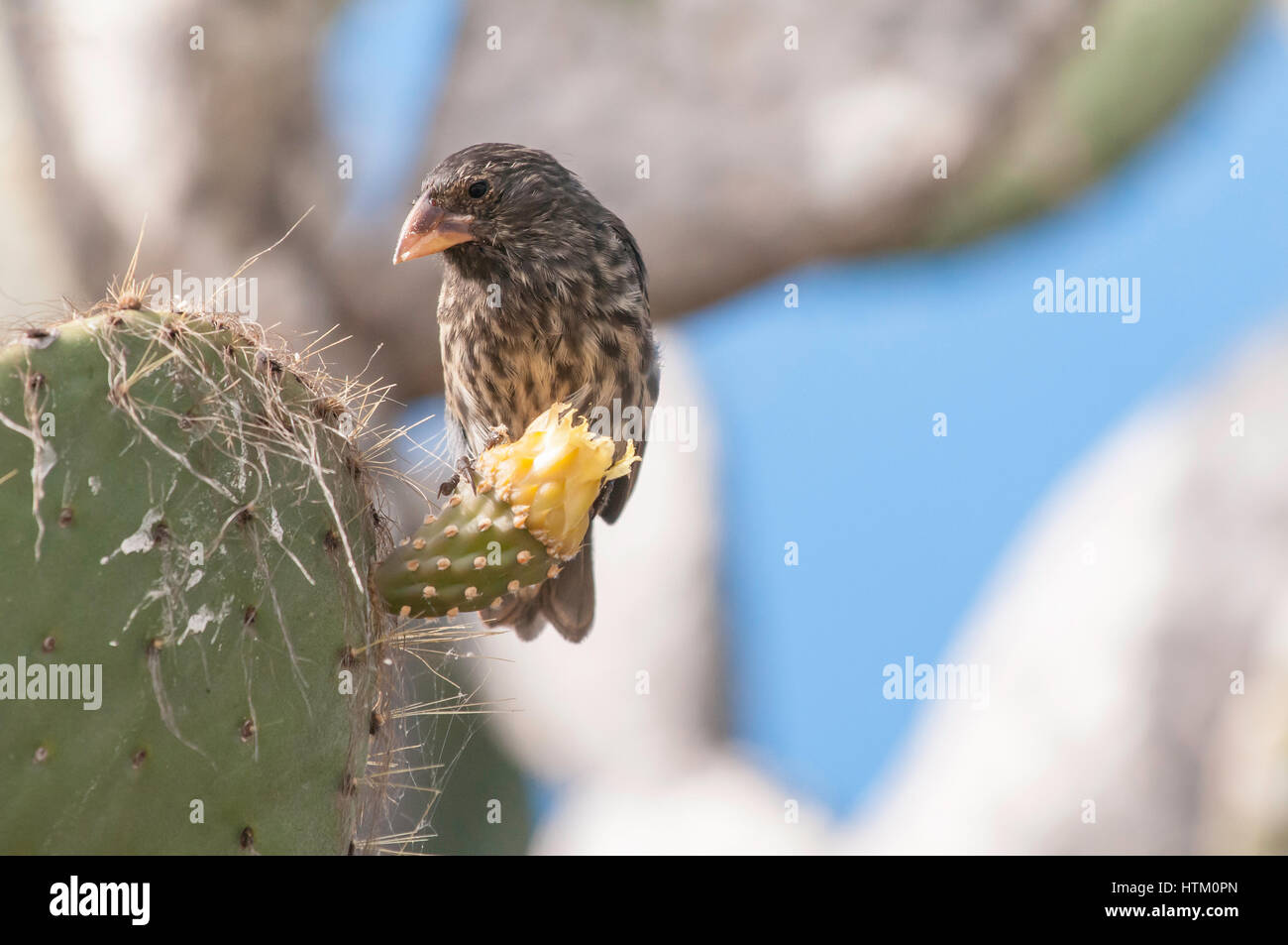 Large Cactus Finch, female, Geospiza conirostris, Isla Genovesa, Galapagos Islands, Ecuador - Stock Image
