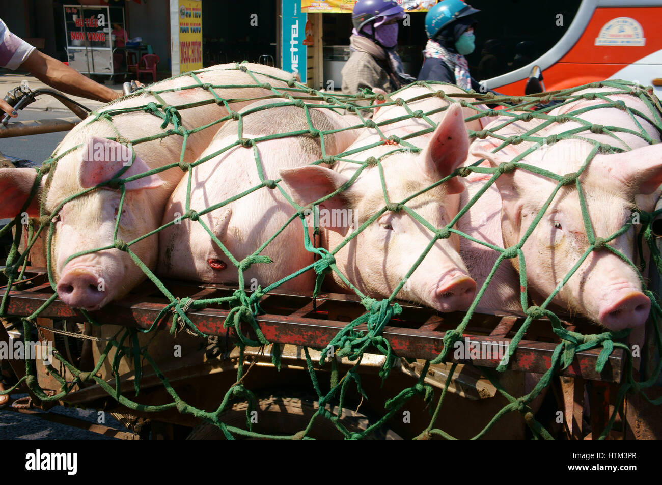 DONG NAI, VIET NAM, Asian man transport group of pig to market by tricycle on street, pig is popular product from - Stock Image