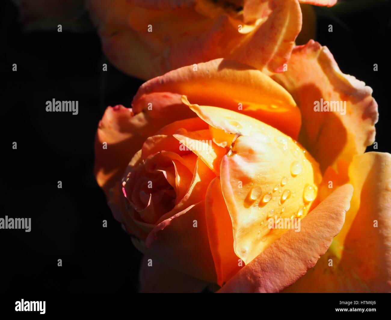 High Contrast orange rose with water droplets. Washington Park, Portland, Oregon - Stock Image