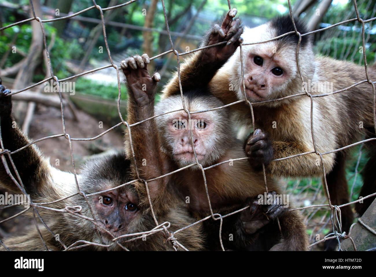 Capuchin monkeys in a zoo, Venezuela. - Stock Image