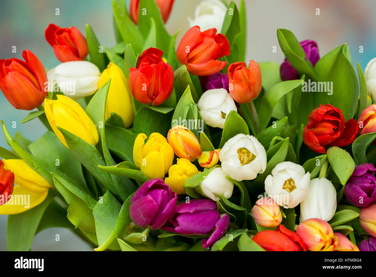 Tulips with water drops. Spring flowers bouquet. Red, pink, yellow ...