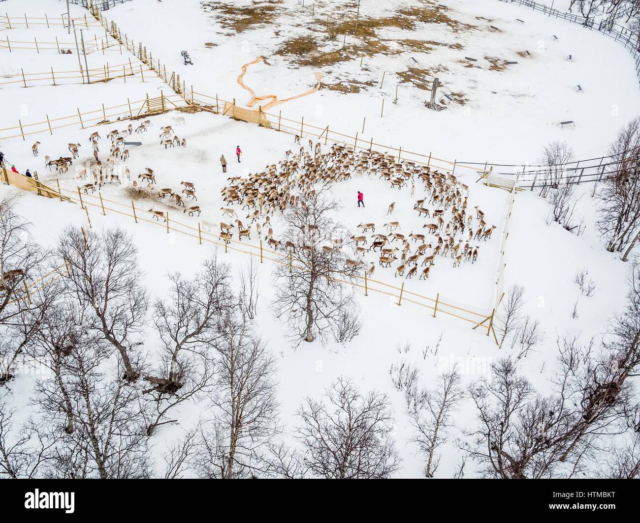 Reindeer herding, Laponian Area, Stora Sjofallet National Park, Lapland, Sweden. World heritiage Area. Stock Photo