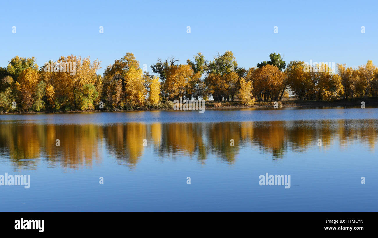 Reflection of trees' colorful fall foliage at a lake in the Arapaho Bend Natural Area in Fort Collins, Colorado - Stock Image