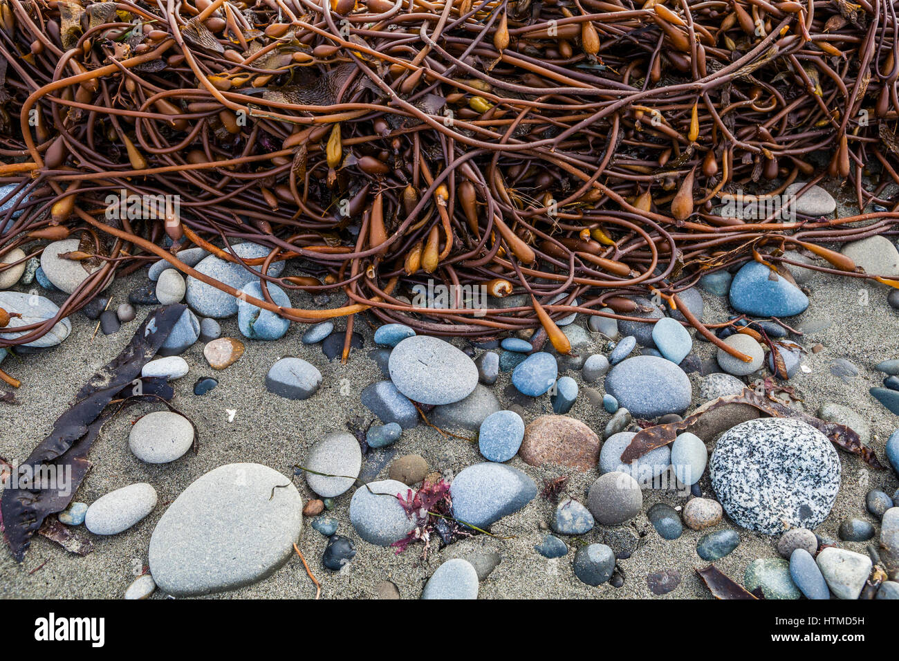 A tangle of kelp on a rocky beach. Dungeness Spit, Washington. - Stock Image