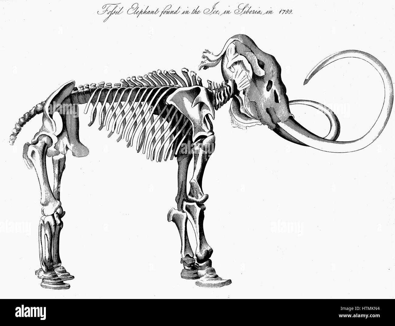 Woolly Mammoth (Mammuthis) skeleton, approximately 3m (9ft) high 5.5m (16ft) long, discovered in the ice in Siberia - Stock Image