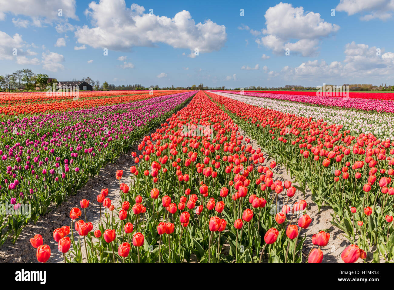 Flowering tulip fields in Holland with a blue sky and typical white clouds above. Stock Photo