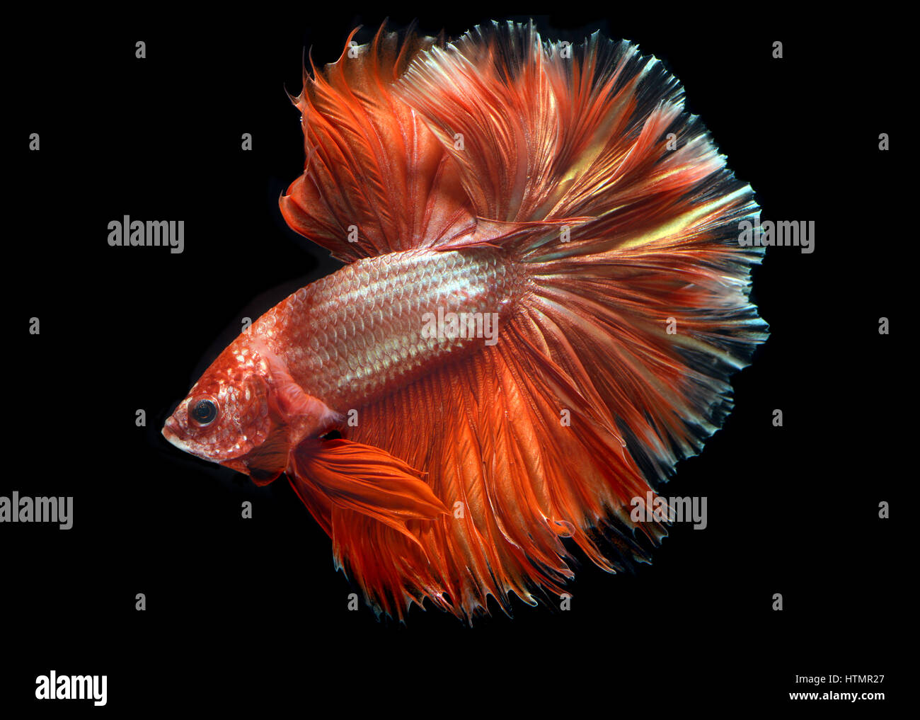 Golden red Colorful waver of Betta Saimese fighting fish beauty and ...