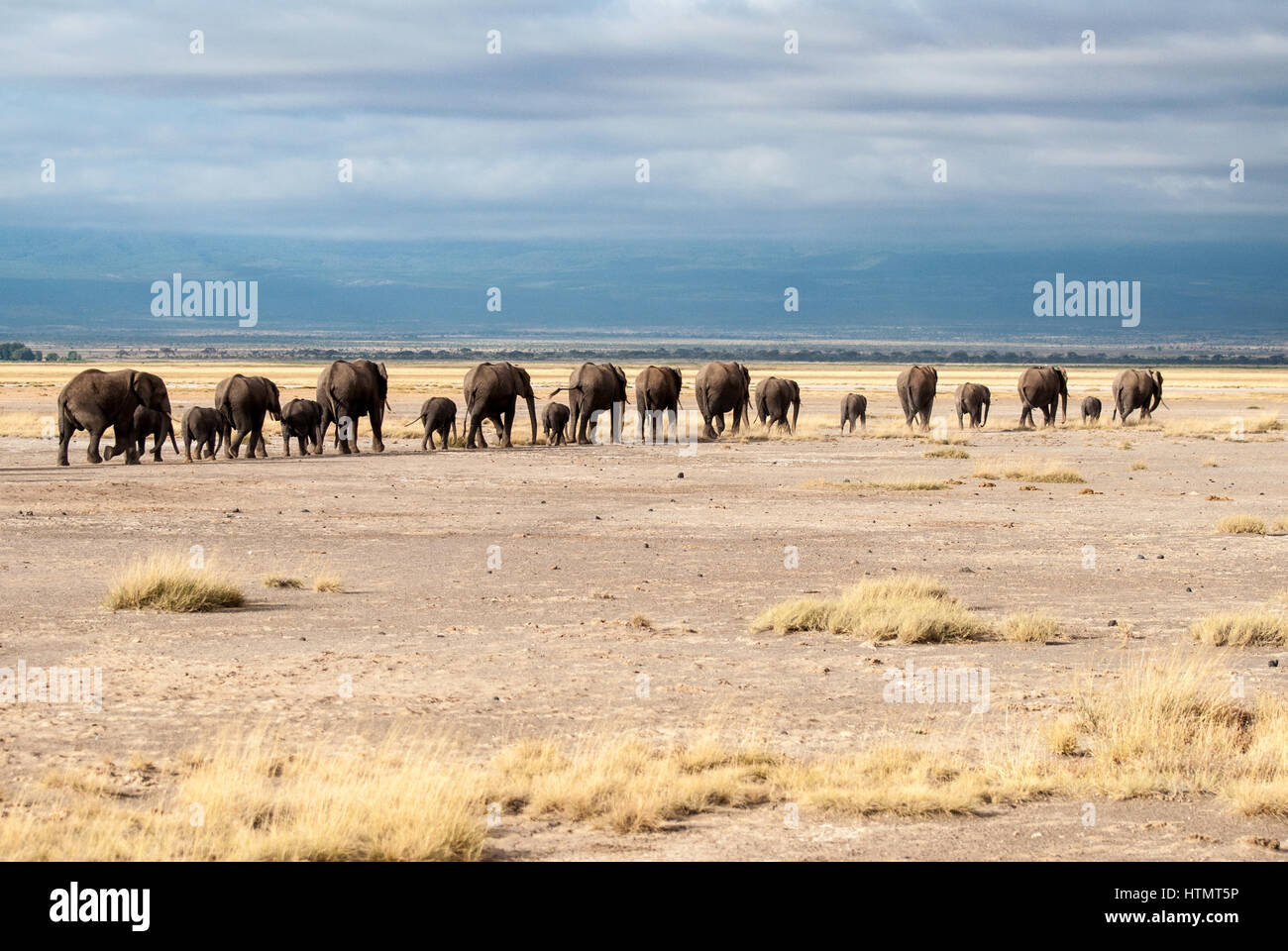 Elephants of Amboseli. A line of elephants, including their young, make their way towards a watering hole in Amboseli - Stock Image