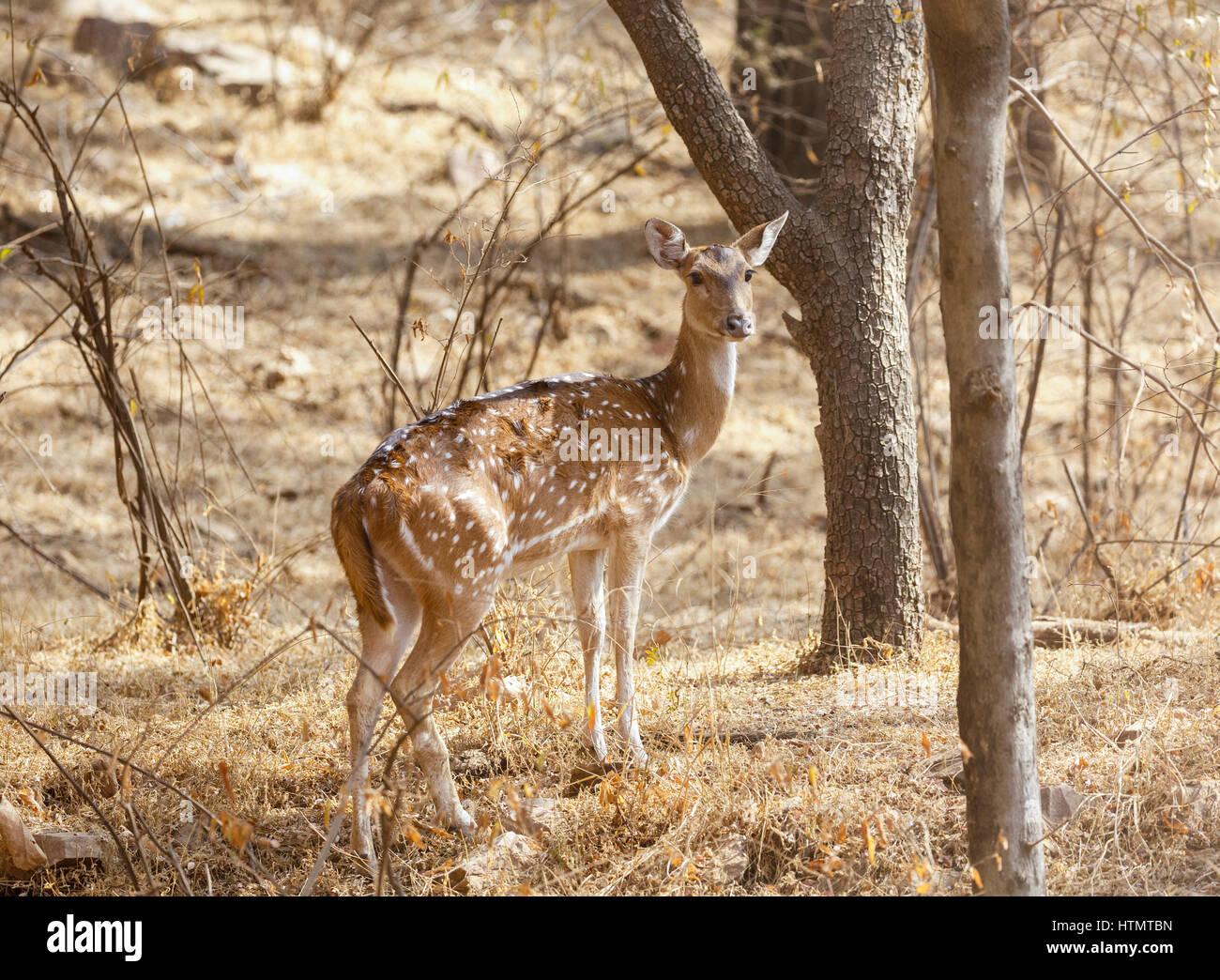 axis deer ranthambhore national park rajasthan india HTMTBN