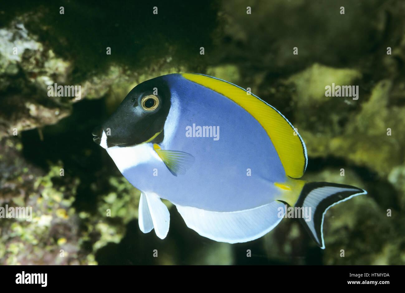 Weißkehl-Doktorfisch, Weißbrust-Doktorfisch, Acanthurus leucosternon, powder blue tang, powderblue surgeonfish, - Stock Image