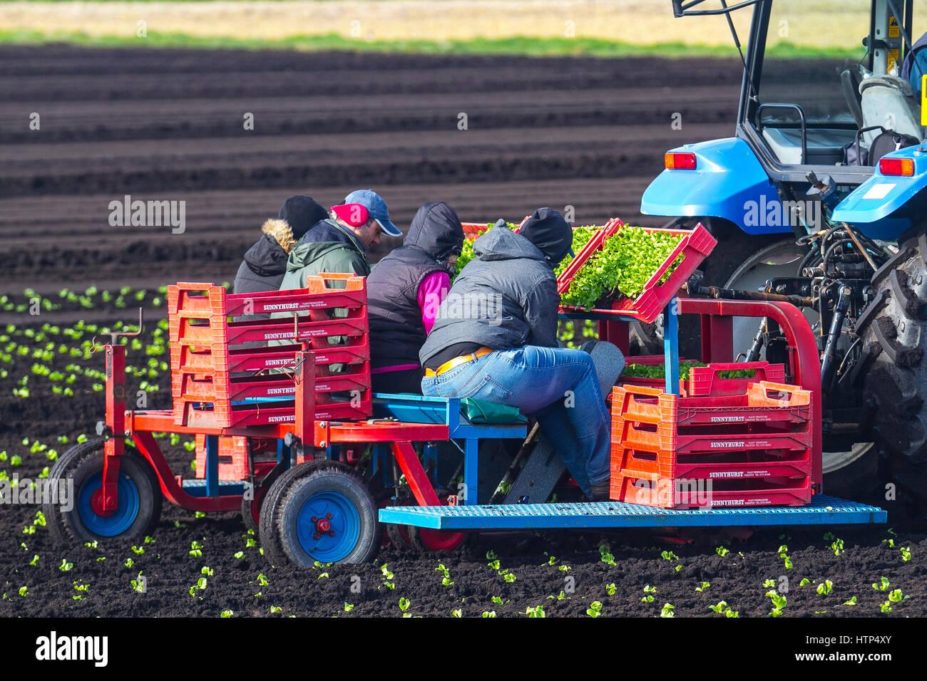 Tarleton, Lancashire, UK. UK Weather. 14th March, 2017 EU Nationals Spring planting lettuce in warming soils. The - Stock Image