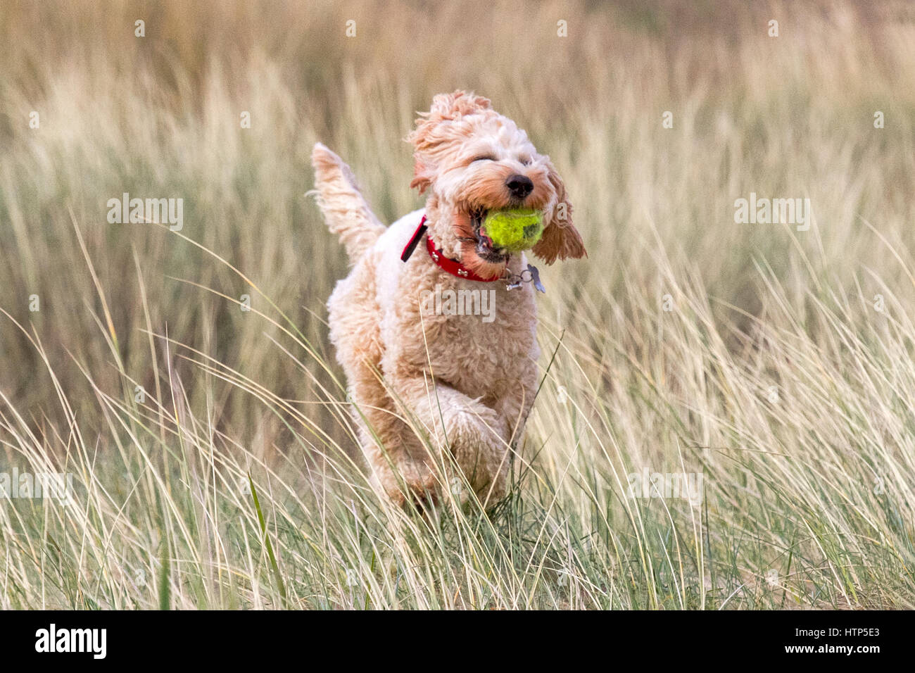 Dogs day out, Ainsdale, Merseyside. 14th March 2017. One year Cockapoo 'Ruby' is having the best day ever - Stock Image