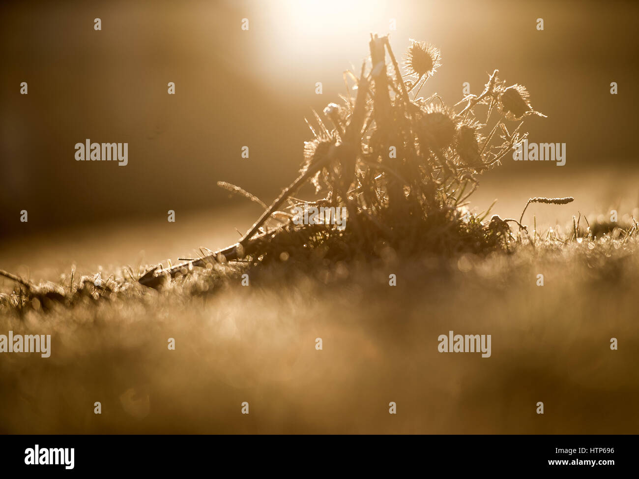 Rottach-Egern, Germany. 14th Mar, 2017. The morning sun lights up dried thistles in an unearthly glow on a pitch - Stock Image
