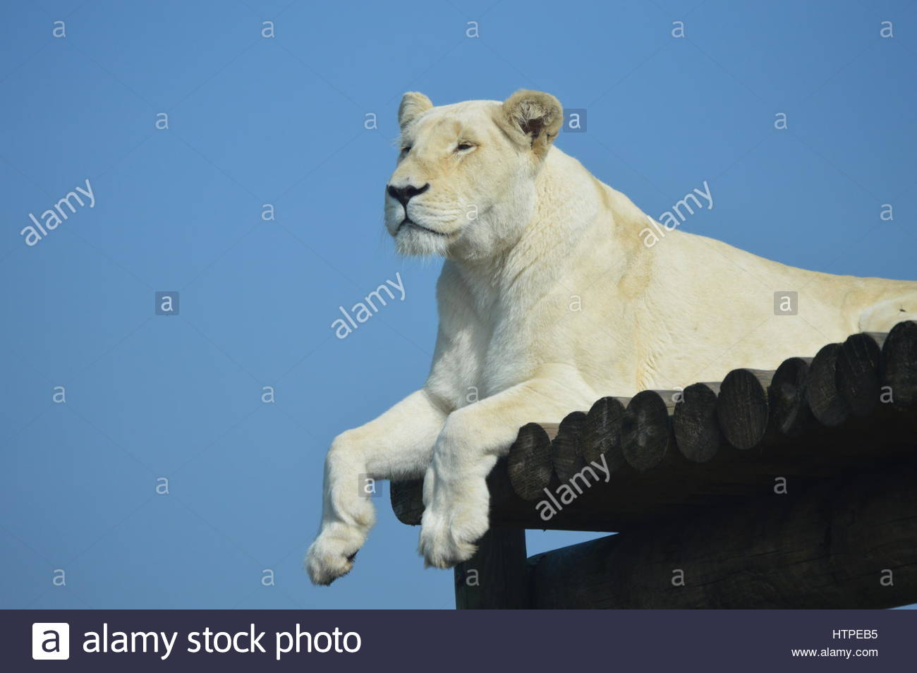 White Lioness at West Midlands Safari Park - Stock Image