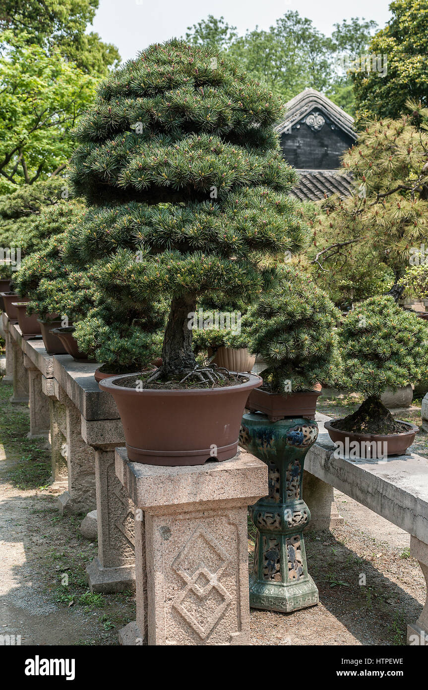 Charming China, The Amazing Beauty Of The Art Of Bonsai. Planted In Separate Pots Of  Dwarf Trees, Which Give Fancy Shapes, Dazzling The Audience.
