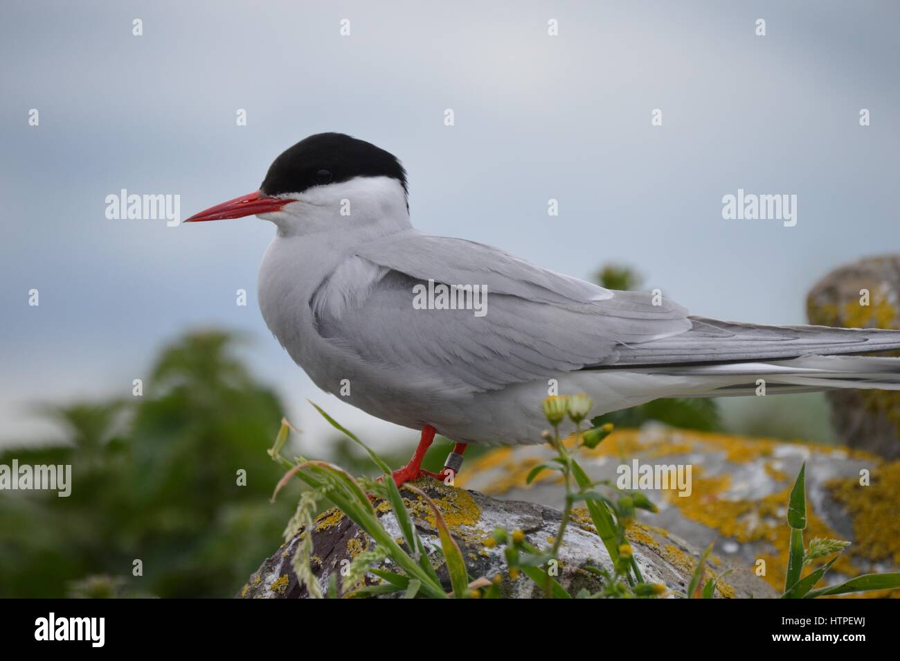 Arctic Tern on Farne Islands - Stock Image