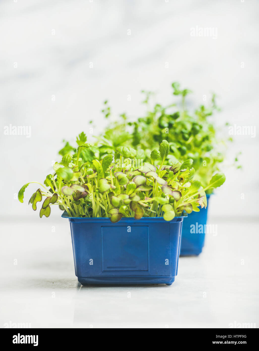Fresh spring green live radish cress sprouts in blue plastic pots over white marble background for healthy eating, - Stock Image