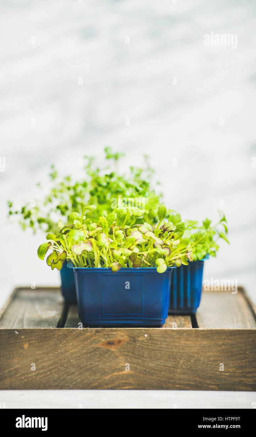 Fresh spring green live radish cress sprouts in plastic pots on wooden box over white marble background - Stock Image