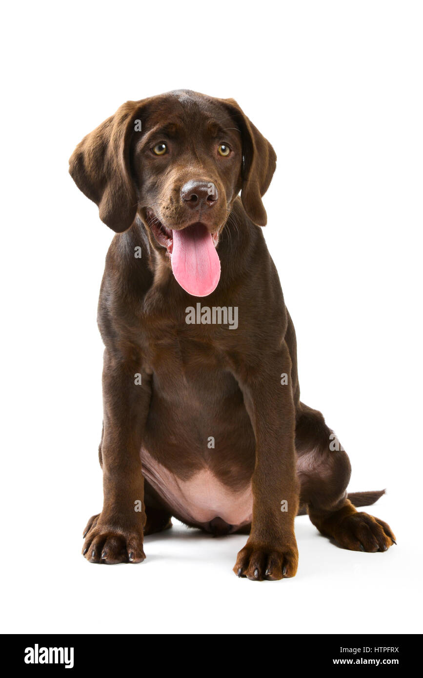 A yellow Labrador Retriever adult dog with her chocolate brown puppy on white chair looking inquisitive - Stock Image