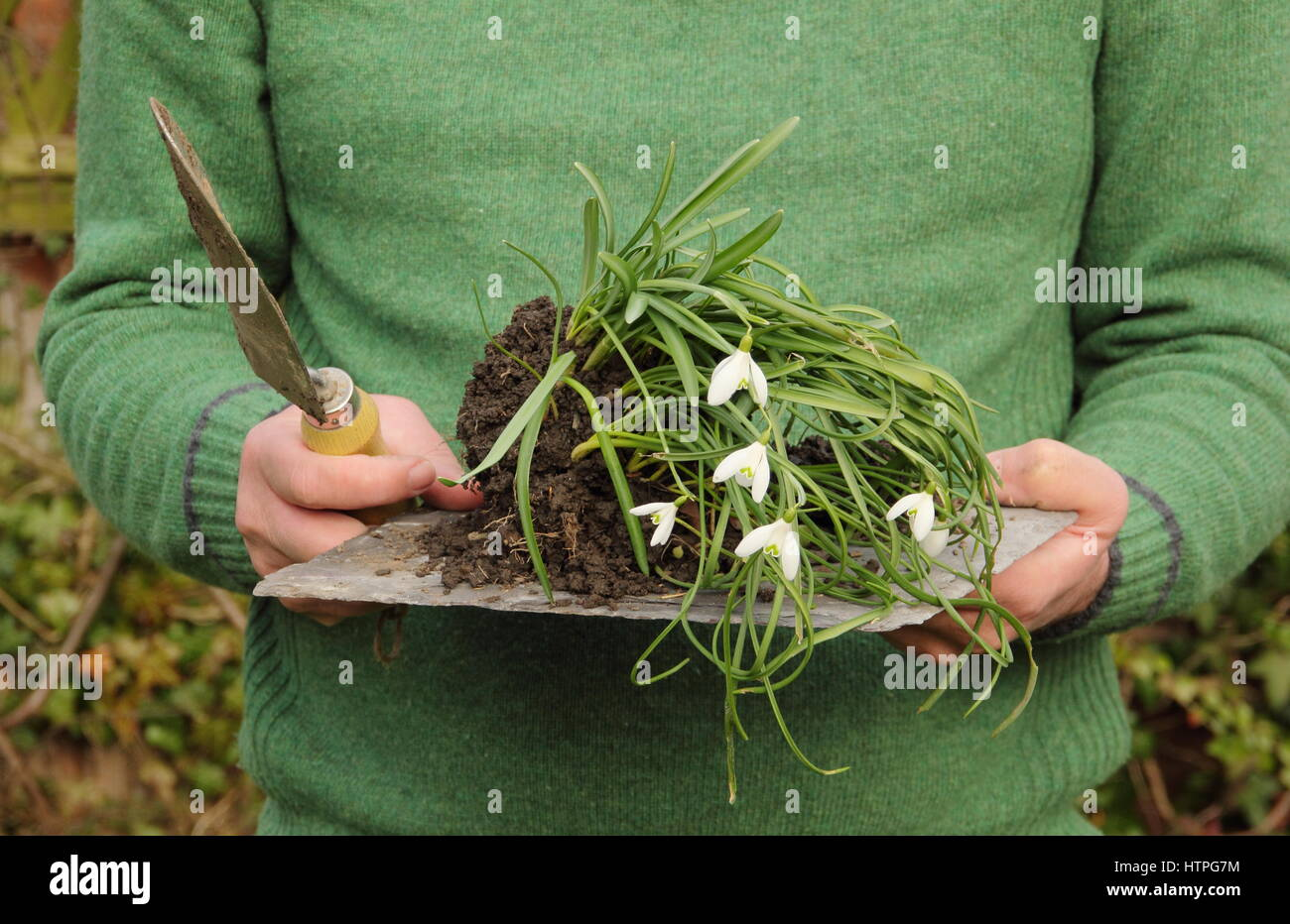 Gardener carries lifted snowdrops (galanthus nivalis) that are 'in the green' - still in leaf - ready for - Stock Image