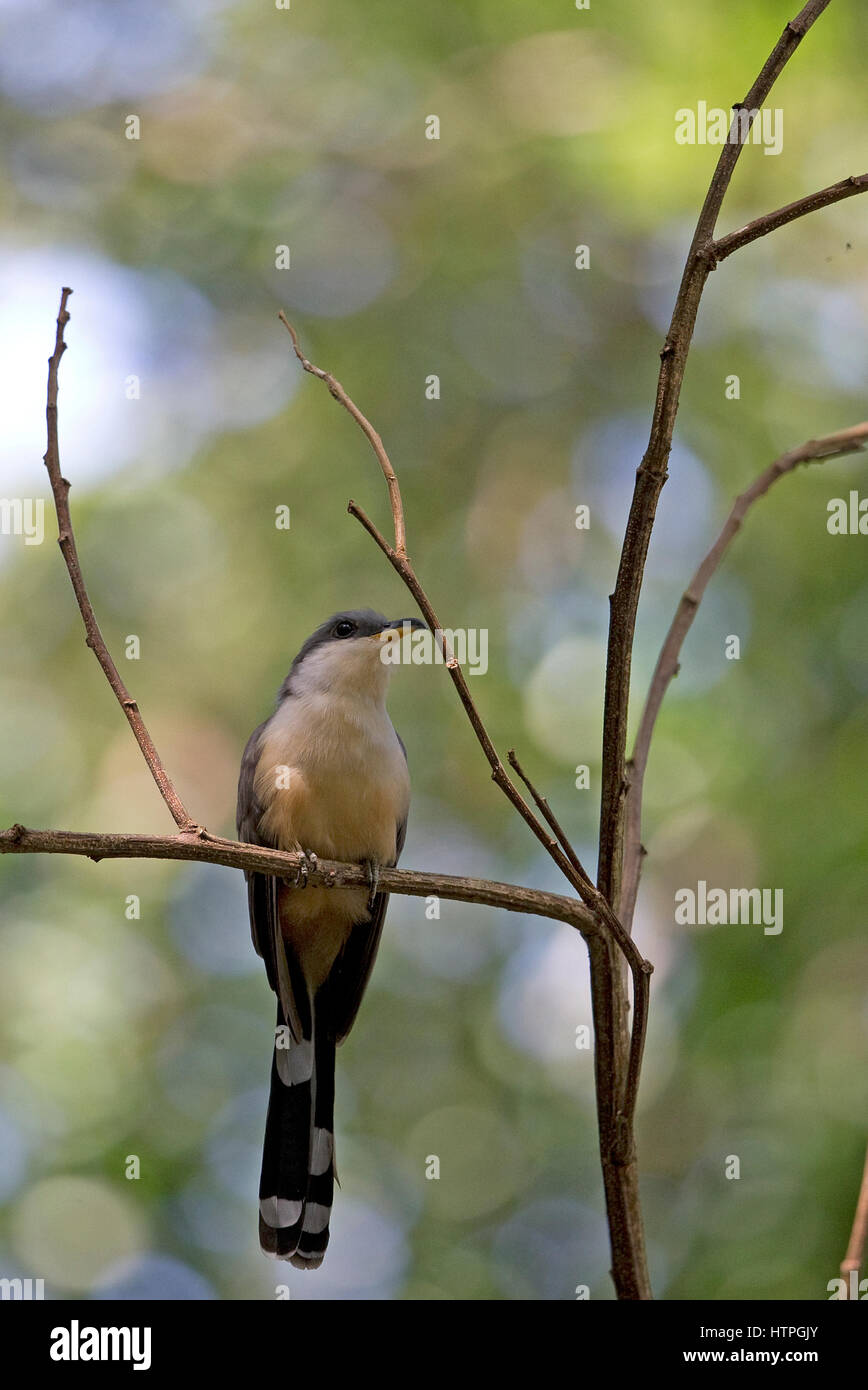 Mangrove Cuckoo (Coccyzus minor) Trinidad & Tobago TT February 2017 - Stock Image